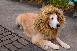 disfraz-de-leon-para-tu-perro