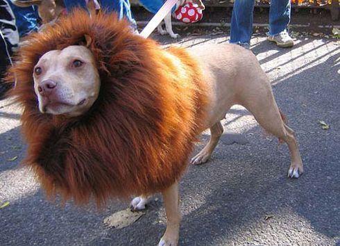 Disfraz para perro de leon